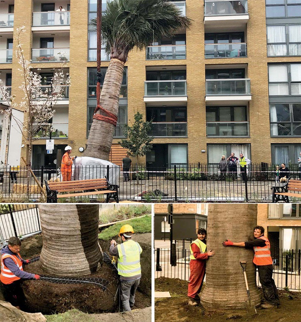 Platipus Tree kit installed to secure very large Palm Tree in the Packington Estate, London