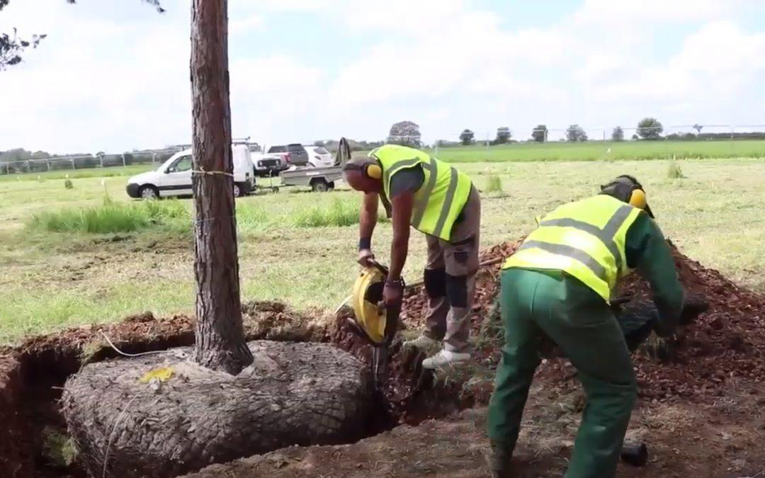 Semi Mature Tree Planting