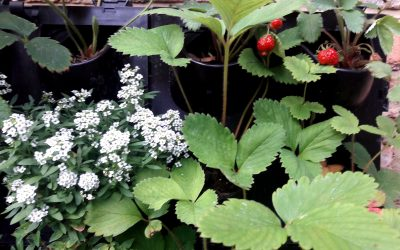 Vertical Garden for Strawberries